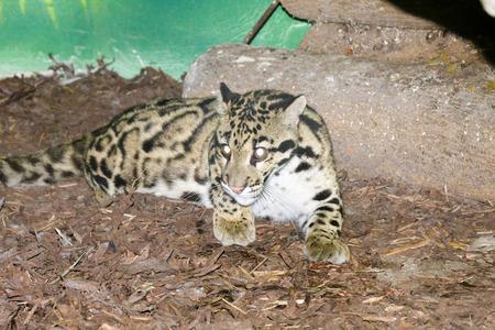 clouded leopard: Clouded leopard  Neofelis nebulosa  Stock Photo