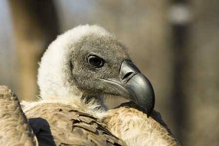 gyps: White-backed vulture  Gyps africanus