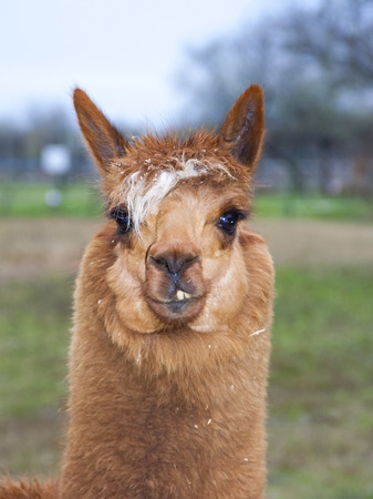 ungulates: Portrait of a brown alpaca  Lama or Vicugna pacos  Stock Photo