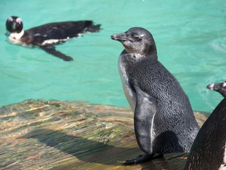 jackass: African penguin or jackass penguin  Spheniscus demersus  chick Stock Photo