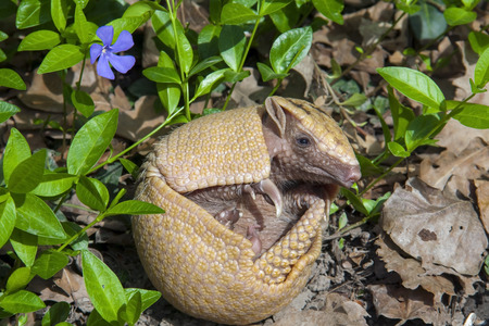 Southern three-banded armadillo  Tolypeutes matacus  in the grass