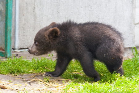 arctos: Europeo orso bruno Ursus arctos cucciolo