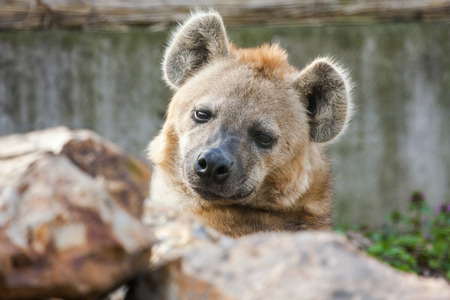 carnivora: Spotted hyena  Crocuta crocuta  female portrait Stock Photo