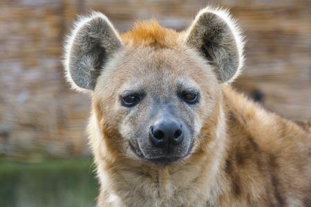 hienas: Hiena manchada Crocuta crocuta retrato femenino