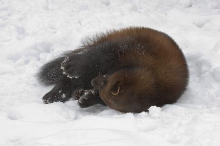 wolverine: Wolverine  Stock Photo