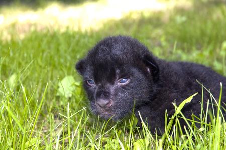 onca: Baby black jaguar  Panthera onca