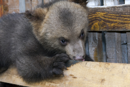 European brown bear  Ursus arctos  cub