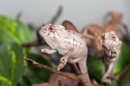 Panther chameleon  Furcifer pardalis  babies together photo