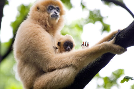 gibbon: Yellow-cheeked gibbon  Nomascus gabriellae  baby and mother