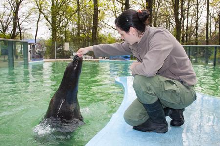 Training a harbor seal  Phoca vitulina  in Szeged Zoo, Hungary Editorial
