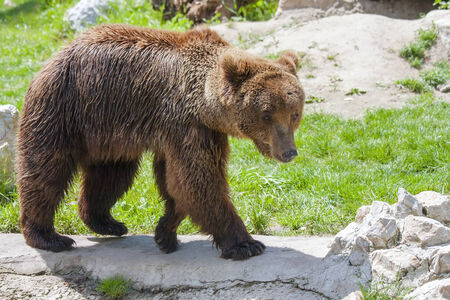 A male European brown bear  Ursus arctos arctos  photo