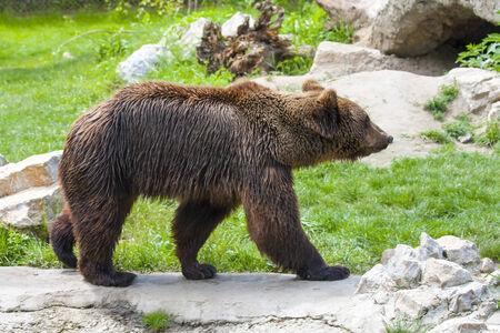arctos: A male European brown bear  Ursus arctos arctos