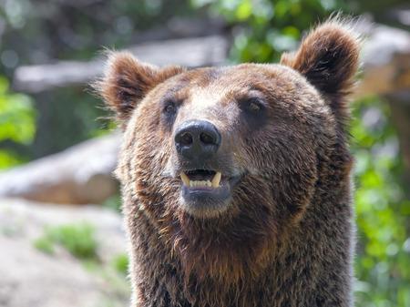 arctos: Un bruno europeo maschio orso Ursus arctos arctos Archivio Fotografico