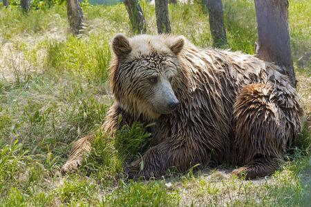 arctos: European brown bear (Ursus arctos arctos) in a forest Stock Photo