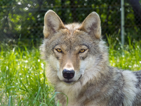 wolf head: European gray wolf (Canis lupus lupus) portrait