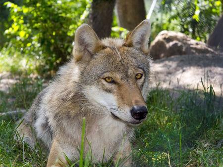 lupus: European gray wolf (Canis lupus lupus) portrait