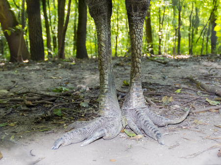 cassowary: Dangerous legs of a southern cassowary (Casuarius casuarius)   Stock Photo