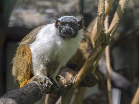 bicolor: Pied tamarin (Saguinus bicolor) on a tree Stock Photo