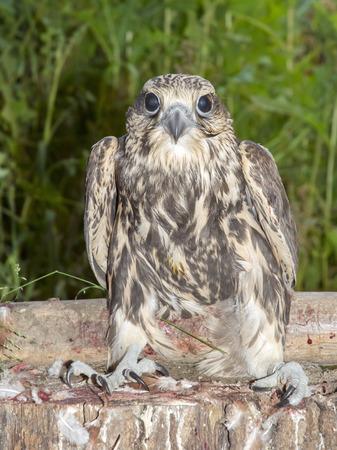 cherrug: A young saker falcon (Falco cherrug)