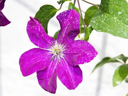 clematis flower: Jackmans clematis (Clematis x jackmani) flower Stock Photo