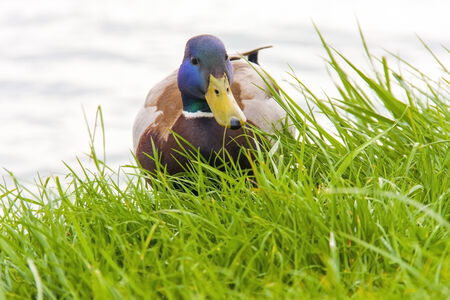 anas platyrhynchos: Male mallard or wild duck (Anas platyrhynchos) in the grass