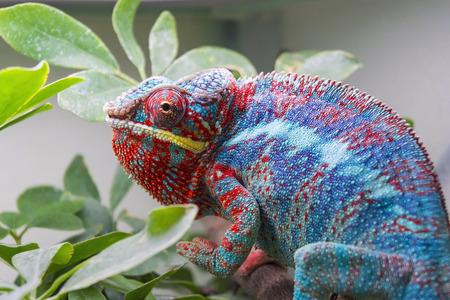 Panther chameleon  Furcifer pardalis  in a terrarium