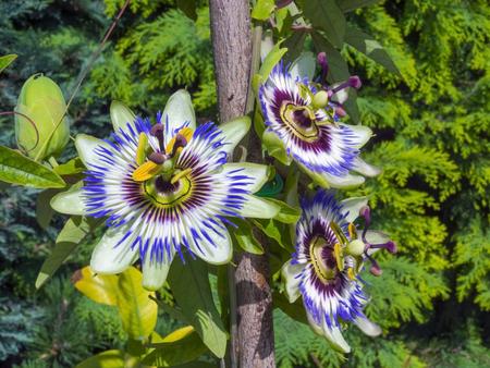 Blue passion flower (Passiflora caerulea) in a garden in summer