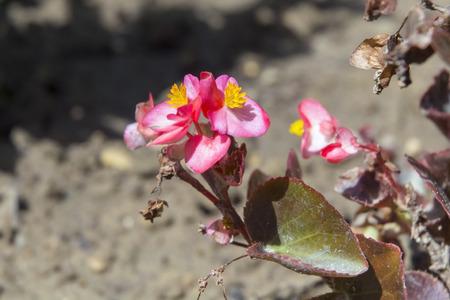 vax: Vax begonia (Begonia semperflorens) flower
