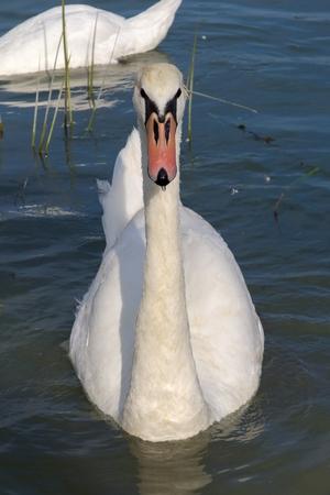 cygnus olor: Mute swan (Cygnus olor) in Lake Balaton, Hungary Stock Photo