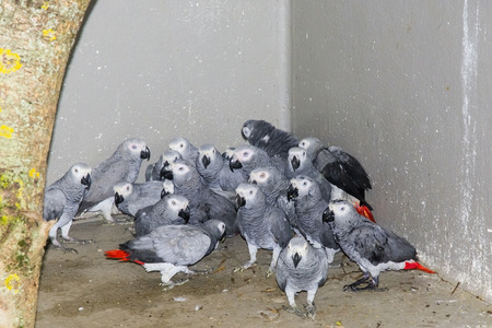 SZEGED, HUNGARY - JULY 15. 2014. -  Confiscated African gray parrots (Psittacus erithacus) in the quarantine in the wildlife rescue center in Szeged Zoo, Hungary