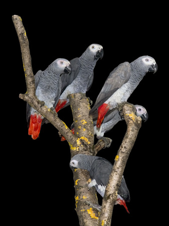 A group of African grey parrot (Psittacus erithacus) isolated photo
