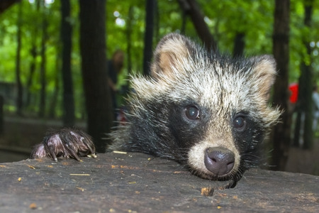 canid: Young raccoon dog (Nyctereutes procyonoides) portrait