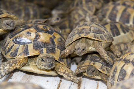 confiscated: SZEGED, HUNGARY - SEPTEMBER 6. 2014. - Crowd of smuggled Hermanns tortoises (Testudo hermanni) in the quarantine section of Szeged Zoo. They were found in the Serbian border.