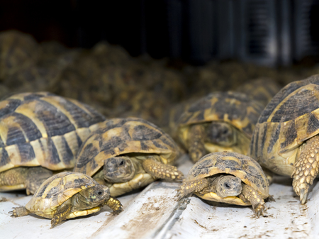 szeged: SZEGED, HUNGARY - SEPTEMBER 6. 2014. - Crowd of smuggled Hermanns tortoises (Testudo hermanni) in the quarantine section of Szeged Zoo. They were found in the Serbian border.