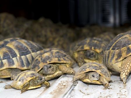 confiscated: Szeged, Ungheria - 6 settembre 2014 - Folla di contrabbando testuggini di Hermann (Testudo hermanni) nella sezione di quarantena di Szeged Zoo. Sono stati trovati nel confine con la Serbia.