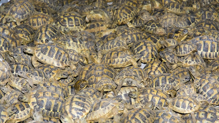 SZEGED, HUNGARY - SEPTEMBER 6. 2014. - Crowd of smuggled Hermanns tortoises (Testudo hermanni) in the quarantine section of Szeged Zoo. They were found in the Serbian border.
