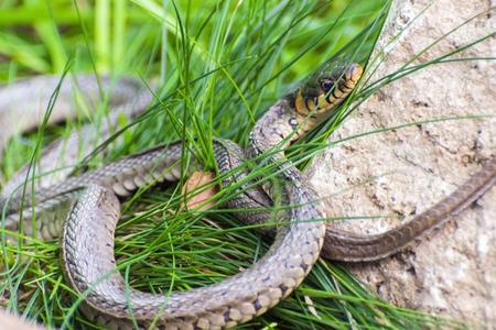 colubridae: Grass snake (Natrix natrix) in Hungary Stock Photo