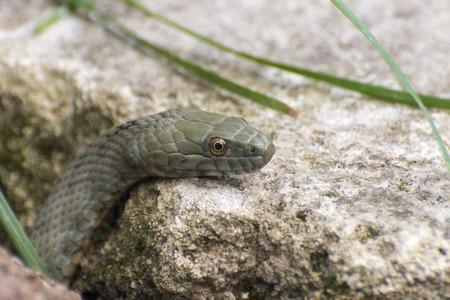 colubridae: Head of a dice snake (Natrix tessellata)  Stock Photo