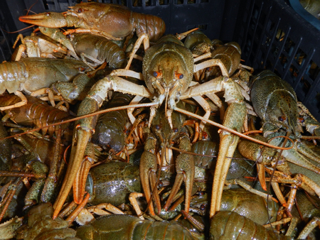 confiscated: Crowd of narrow-clawed crayfishes (Astacus leptodactylus) in a confiscated cargo
