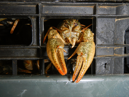 Narrow-clawed crayfish (Astacus leptodactylus) in a confiscated cargo Stock Photo