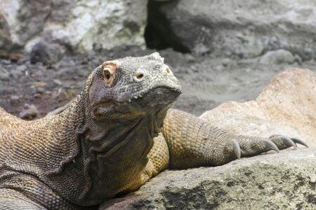 Head of a Komodo dragon (Varanus komodoensis) photo
