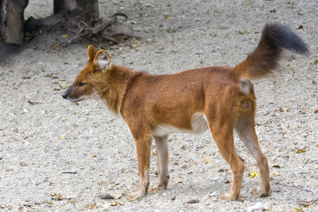 carnivora: Dhole or Asiatic wild dog (Cuon alpinus) Stock Photo