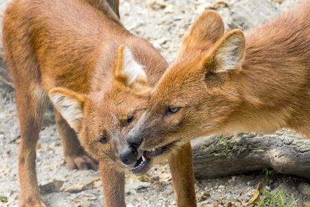cuon: Dhole or Asiatic wild dog (Cuon alpinus) social behavior