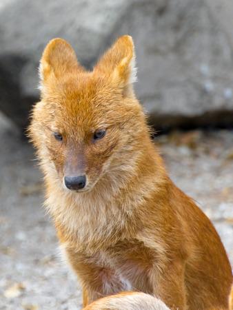 asiatic: Dhole or Asiatic wild dog (Cuon alpinus) Stock Photo