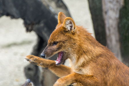 canid: Dhole or Asiatic wild dog (Cuon alpinus) Stock Photo