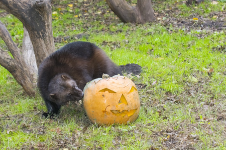 wolverine: Wolverine (Gulo gulo) is playing and eating a Halloween pumpkin Stock Photo