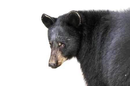 ursus americanus: American black bear (Ursus americanus) isolated with white background