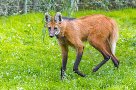 canid: Maned wolf (Chrysocyon brachyurus) walking in the grass Stock Photo