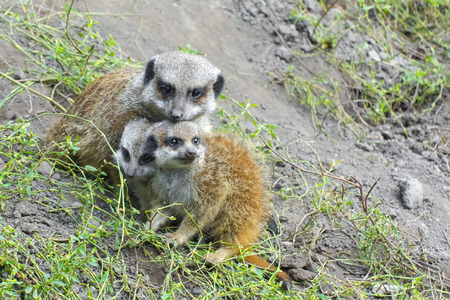 herpestidae: Meerkat (Suricata suricatta) baby on the ground