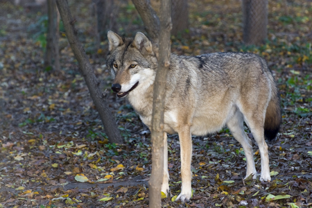 canis: European grey wolf (Canis lupus) in a forest Stock Photo